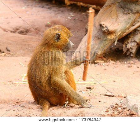 The Gelada Baboon (Theropithecus gelada). Monkey working with primitive tool. Behavior in wildlife.