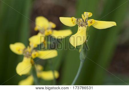 Yellow Lis