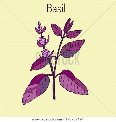 Basil Thai basil or sweet basil culinary and aromatic herb. Vector illustration