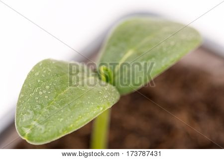 Closeup Macro Cucumber Leaf With Water Droplets