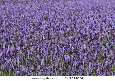 Lavender Giant Hyssop (agastache Foeniculum)