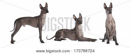 Photo collage of hairless thoroughbred xoloitzcuintle male dog studio shot on white background