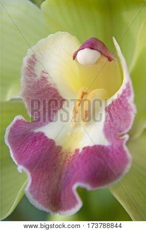 close up green and purple boat orchid (Cymbidium)