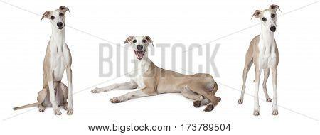 Photo collage of Whippet dog (also English Whippet or Snap dog) studio shot on white background