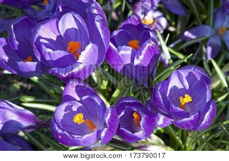 Crocus (crocus Sp.) Their Colors Vary Enormously, Although Lilac, Mauve, Yellow, And White Are Predo