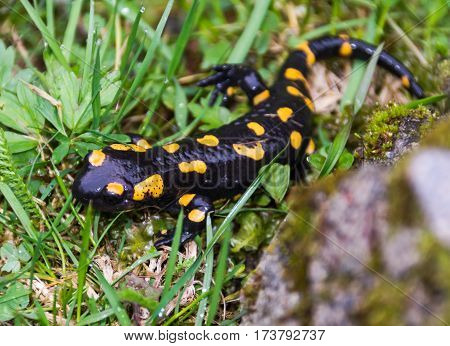 fire salamander is hiding in the green spring grass