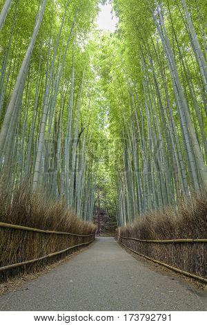 Bamboo forest in Arashiyama, Kyoto Japan (Landmark)