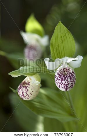 Hardy Lady Slipper (cypripedium  'ulla Silkens')
