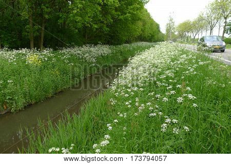 Cow Parsley On Road Side