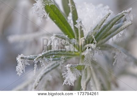 Grass With Ice