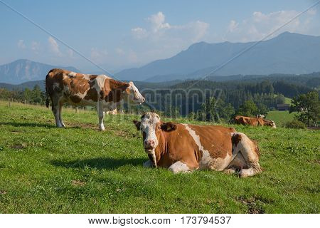 group of milkers in the bavarian foothills