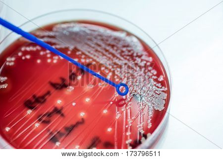 Loop For Exposure Staphylococcus Speciesm To Colonies Of White Bacteria Culture On Blood Agar In Mic