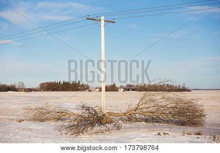 One tree cut down for safety around a power line with a farm yard in the background in a rural countryside agricultural landscape