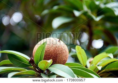 Lone Sapodilla fruit on a branchon a blurred green background