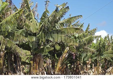 Banana (musa Sp.)