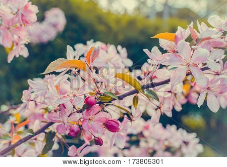 Close up of apple tree blooms on sunny spring morning. Beautiful spring tree pink blossoms background. Branch with flowers of an apple-tree of Nedzvetsky (Malus niedzwetzkyana). Pink flowers of apple.