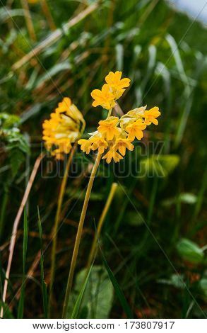 Primula veris or Primula officinalis (Primula veris). Common cowslip. Primula rendezvouses plant in the spring garden on the Alpine hill.