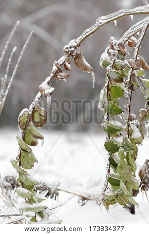 Branch with green foliage covered with ice. The photo is made after a sleet a storm.