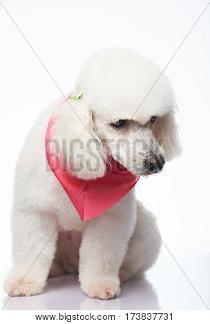 Sad White Poodle Sitting
