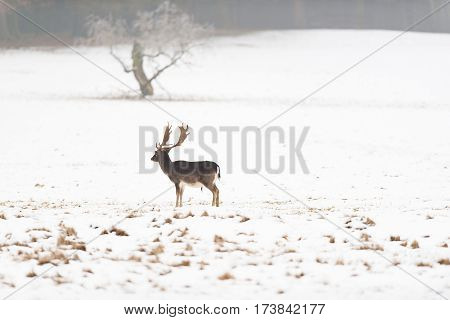 Fallow Deer Buck In Meadow Covered With Snow.