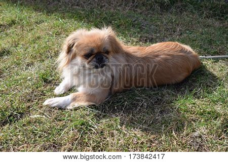 small lonely pekinese enjoy the spring day