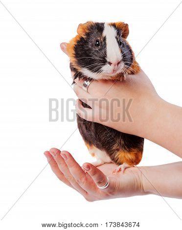 Holding Guinea Pig