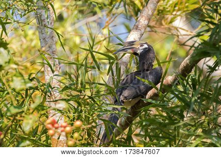 Female Oriental pied hornbill bird in black white with long eyelashes sitting on tree in wild nature, Thailand, Asia (Anthracoceros albirostris)