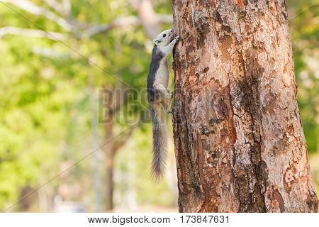 Cute Gray squirrel with white head face tummy and bushy tail climbing on tree in Khao Yai national park, Thailand, Asia