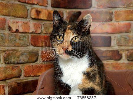 Portrait of one female calico cat looking to viewers left. Sitting in fluffy bed in front of red and brown brick wall.