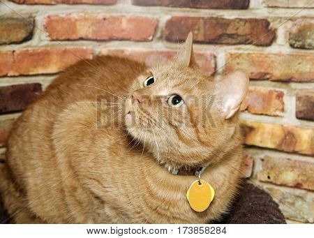 Portrait of one male orange ginger tabby cat wearing collar with blank name tag crouched down looking up to viewers left. Textured brown and red brick wall background.