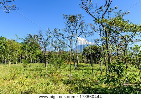 Woodland & mahogany tree saplings with Agua volcano in background in Escuintla, Guatemala, Central America