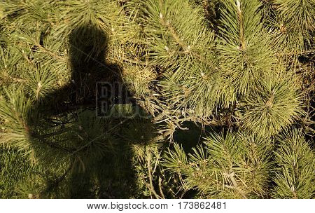Shadow of the 'photographer' against a mass of large yellow/green pine needles in Woodland Park in Lasalle, Quebec on a bright sunny day in October.