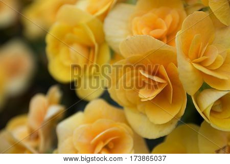 nature spring floral background yellow begonia flower blossom close up selective focus one flower in focus on foreground soft focus blurred flowers on background copy space