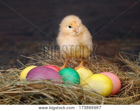 Easter colored eggs in the hay. Little newborn chick