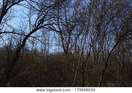 impassable forest thicket in early spring,wildlife,  trees