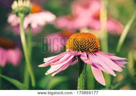 Purple daisy flower blooming in a rural garden. Natural floral photography of beautiful fresh pink osteospermum flower daisy growing at summer meadow