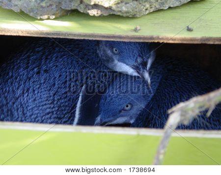 Little Blue Penguins In Their Nest