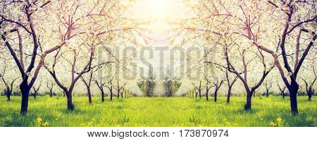 Fantastic apple orchard is illuminated by sunlight. Fruit tree in april. Picturesque and gorgeous scene. Location place Ukraine, Europe. Beauty world. Glowing soft filter. Instagram toning effect.