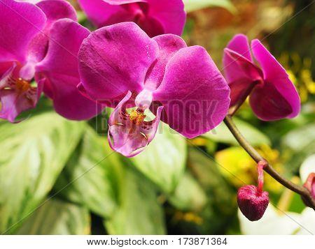 Closeup of Orchidea Phalaenopsis in the Garden