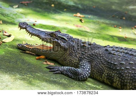 Crocodile With An Open Mouth.