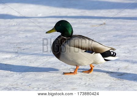 duck bird is on the white snow Sunny day colorful feathers yellow beak