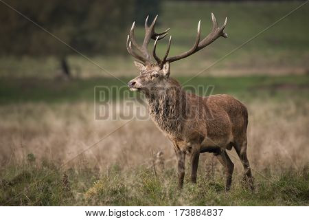 A full length portrait of a solitary red deer stag standing in open grassland