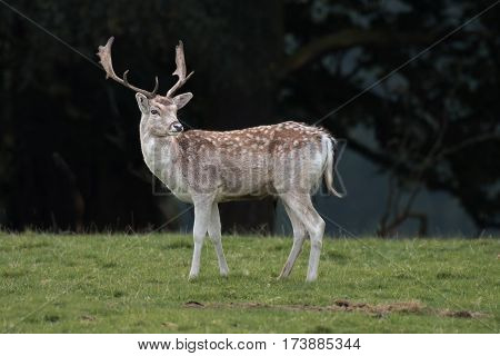 A young fallow deer stag standing on grass with a dark forest in the background sideways profile angle and looking slightly back.