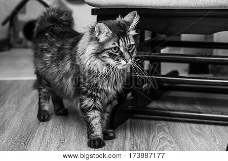 Kuril Bobtail cat black and white style in home