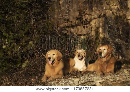 golden lab and retrievers