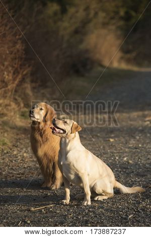 golden lab and retriever