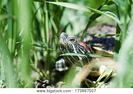 Head and neck of a Pond slider turtle located in the green grass closeup