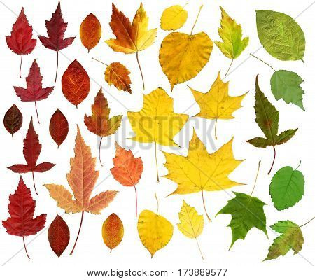 a set odf many colorful autumn leaves isolated on white background