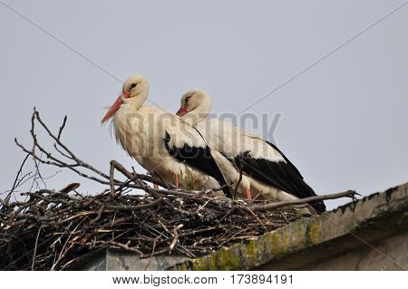 Couple of white stork in nest. Springtime is time for love of storks.