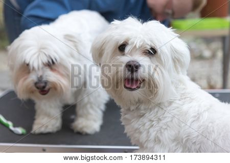 The pair of white dogs is standing on the grooming table. The dog in the foreground is looking at the camera the dog in the background is groomed.
